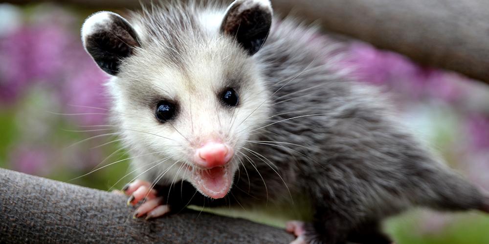 charleston_pest_control_possum